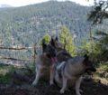 3 Norwegian Elkhounds