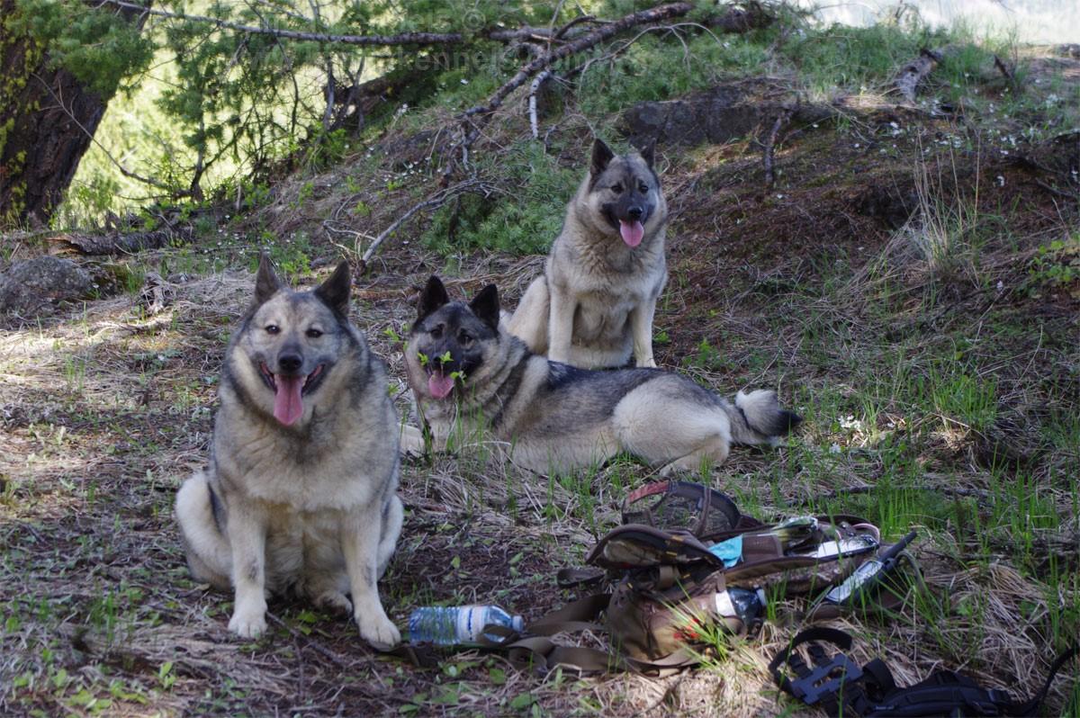 Elkhound females resting