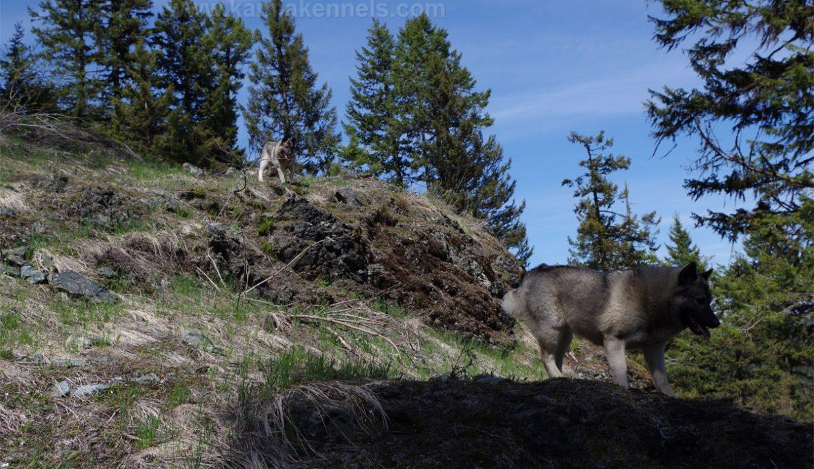 Tekla and Tuva Norwegian Elkhounds