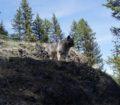 Tekla, Norwegian Elkhound female