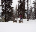 Jamthund and Swedish Elkhound