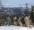 3 Norwegian Elkhound Females