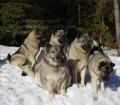 5 Norwegian Elkhound Females