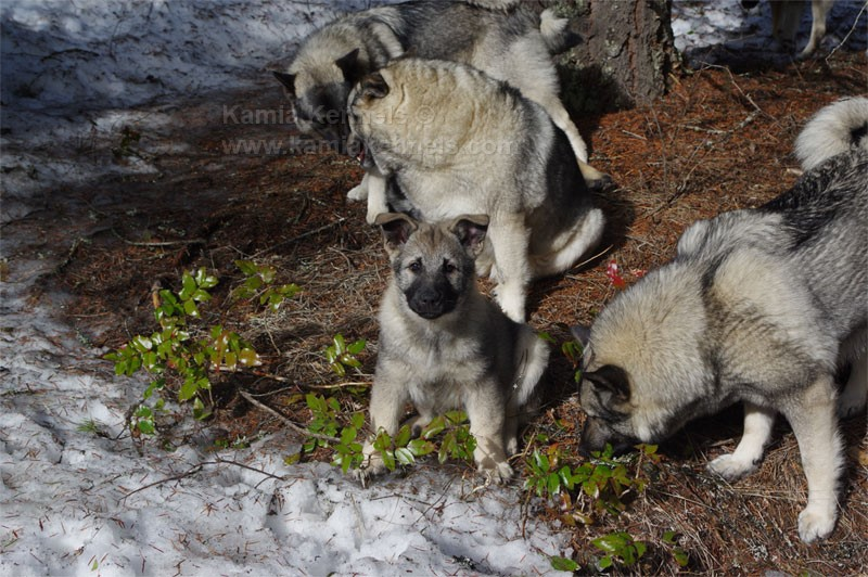 Norwegian Elkhound Pup