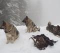Norwegian Elkhound Dogs in Blizzard