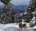 Norwegian Elkhound Females