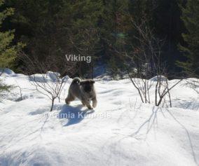 Viking Norwegian Elkhound Pup