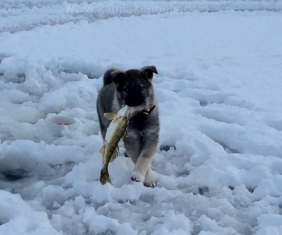 Vuk, Norwegian Elkhound Ice Fishing Instincts At Work